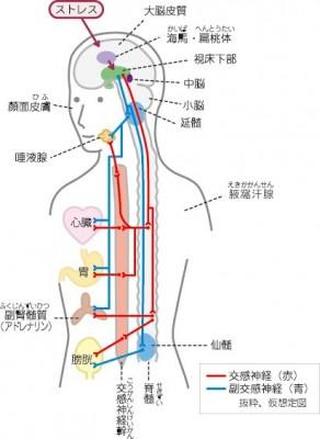 交感神経幹_p.docx