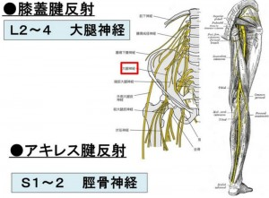 膝蓋腱反射_800