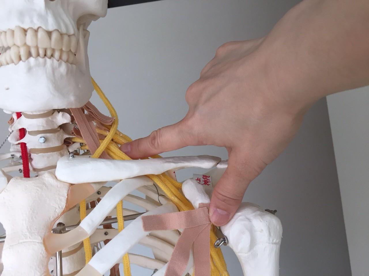 胸郭出口症候群(TOS) | 解剖生理学セミナーやハワイで献体解剖実習を開催