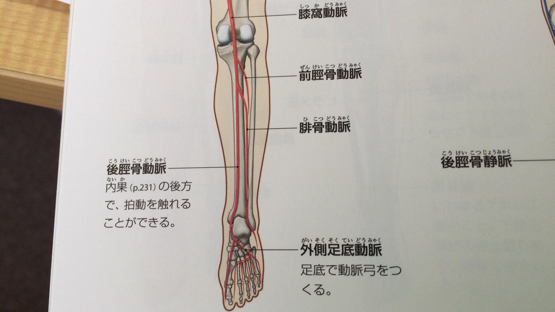 後脛骨動脈 | 解剖生理学セミナーやハワイで献体解剖実習を開催