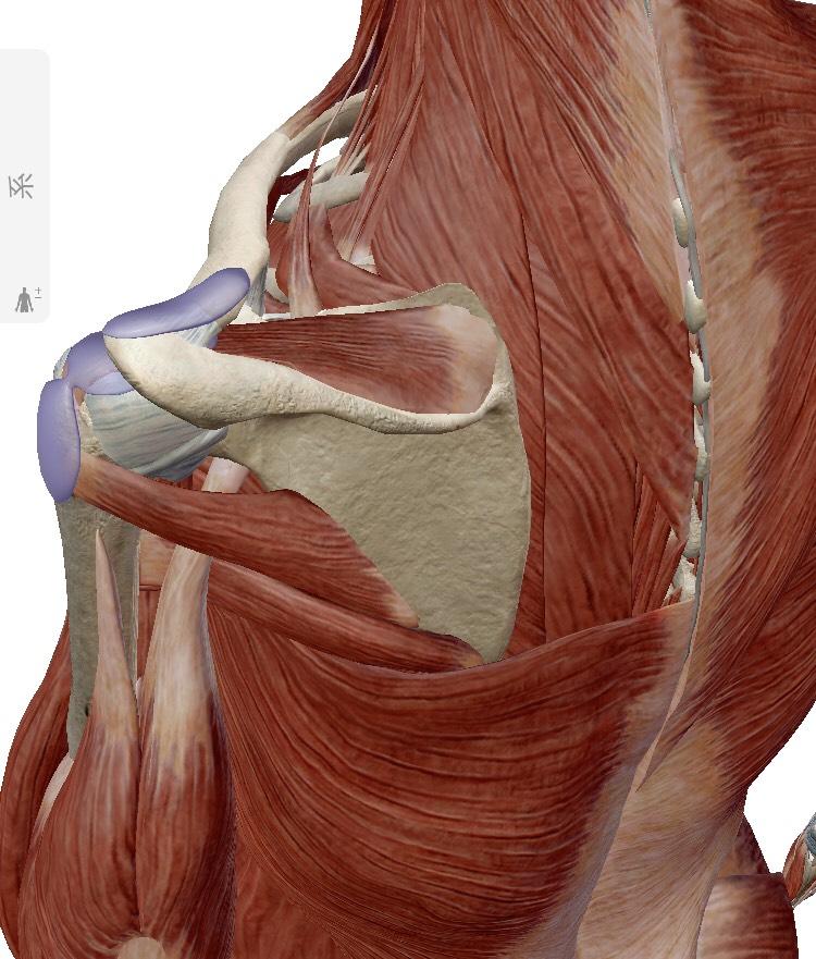 肩関節のメカニズム2