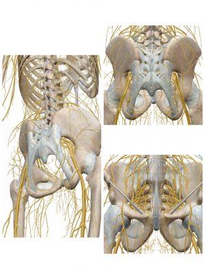 解剖実習で実際に見る「神経叢」や「靭帯」などの組織を考察