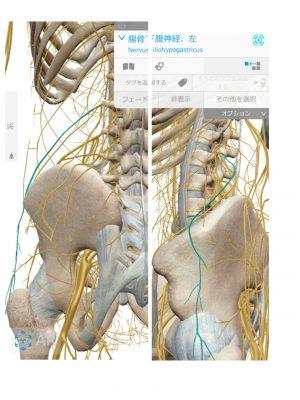 解剖実習で実際に見る「腰神経」