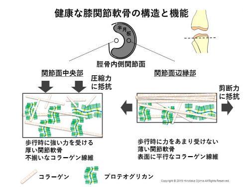 <正常な関節軟骨構造や機能と歩行バイオメカニクスの関係性>