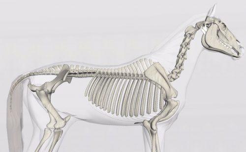 「馬の解剖」理学療法士 田代雄斗 先生のコラム