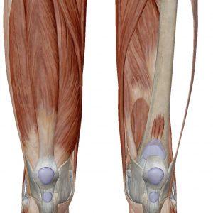 「膝蓋骨の発生メカニズム」理学療法士 飯島弘貴先生のコラム