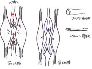静脈弁_640